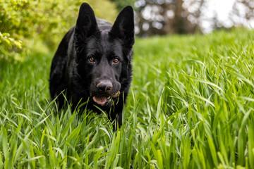 Portrait of a black german shepherd dog in a meadow
