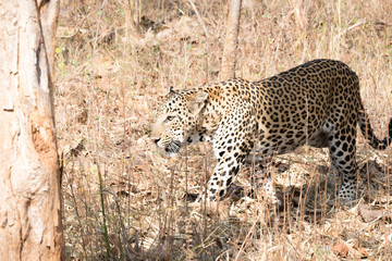 A leopard silently waiting