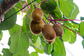 Green kiwis ripen on a tree. Kiwis on a branch. Healthy. Rich in vitamins.