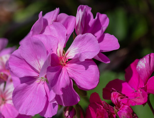 Color outdoor floral macro of a cluster of red phlox blossoms with natural blurred background taken on a sunny summer day
