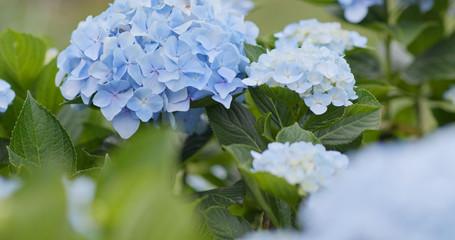 Hydrangea flower farm