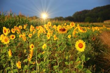 Fotoväggar - randstreifen sonnenblumen bienennahrung