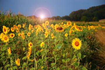 Fotoväggar - ackerrand      insektennahrung     sonnenblumen