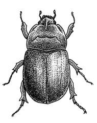 Rhinoceros beetle illustration, drawing, engraving, ink, line art, vector