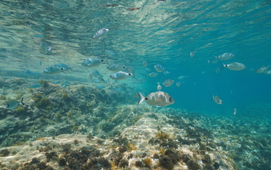 A shoal of fishes (saddled and white seabream fish) in shallow water between water surface and rock, Mediterranean sea, Denia, Alicante, Costa Blanca, Spain