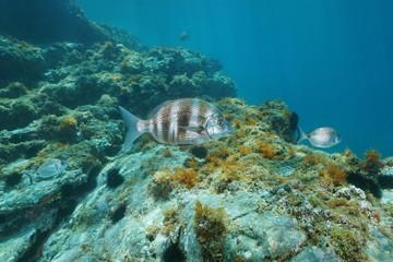 A zebra sea bream fish, Diplodus cervinus underwater in the Mediterranean sea, marine reserve of Cerbere Banyuls, Pyrenees-Orientales, Roussillon, France