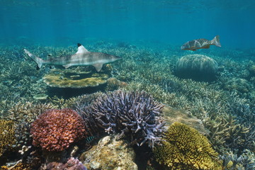 Colorful coral reef underwater with a blacktip reef shark and a coral trout grouper, Pacific ocean, New Caledonia, Oceania