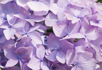 Light purple hydrangea close up photo as background. Floral botanical photography in light and gentle colors.
