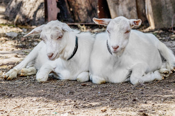 animals two white bellyless goat lie in the farmyard yard