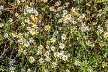 field flower small daisy in a meadow