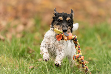 Jack russell terrier hound.  Little dog runs with his toy in the autumn season over a colorful meadow