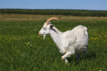 White goat grazing on a green meadow