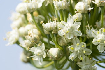 Close up white onion flower of Thai farmers. To seed the next breeding season.