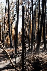 Fire Scorned Forest, Albuqueruq, New Mexico, Sandia Mountains