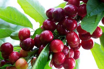 Makro aufnahme auf red cherries in summer garden.