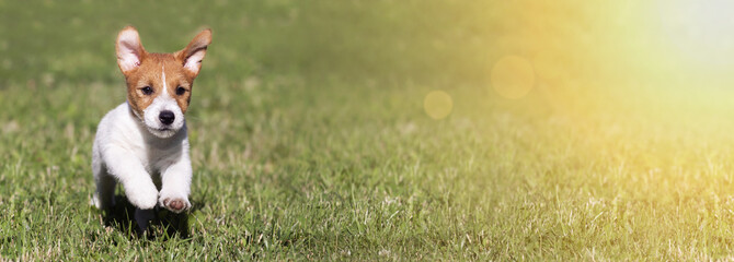 Web banner of a happy playful Jack Russell Terrier pet dog puppy as running