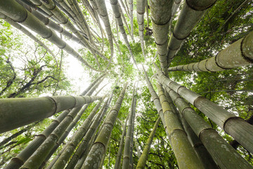 Background of fresh and green bamboo forest