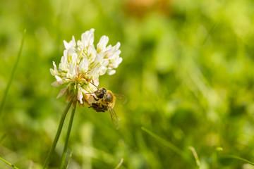 pszczoła na kwiatku-zbiór pyłku