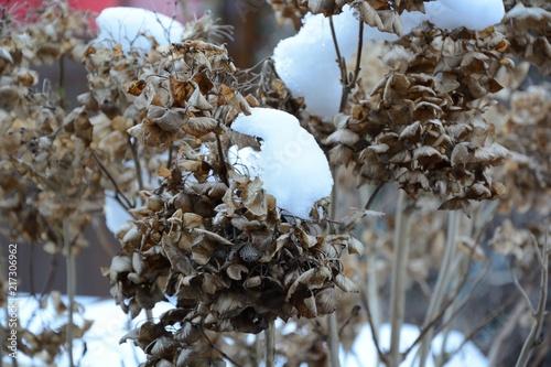 Hortensie Verbluht Im Winter Mit Schnee Stock Photo And Royalty