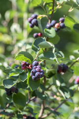 Amelanchier ovalis tasty ripening fruits berries,  serviceberries on branches