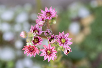 Sempervivum arachnoideum perennial flowering plant, bright pink flowers