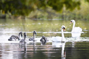beautiful family of swans