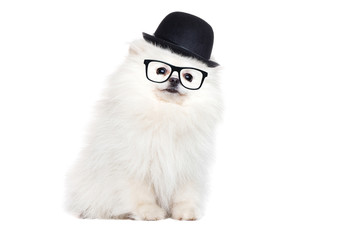 Sitting white spitz wearing glasses and bowler hat isolated on white
