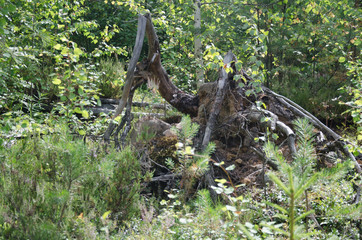 The fallen tree in the forest
