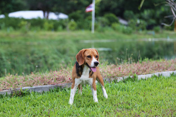 Beagle dog playing on the green grass.