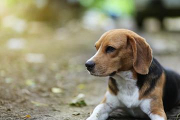 Portrait of beagle dog outdoor.