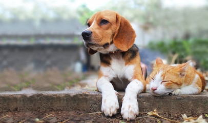 Beagle dog and brown cat lying together on the footpath.