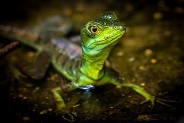 Green lizard closeup