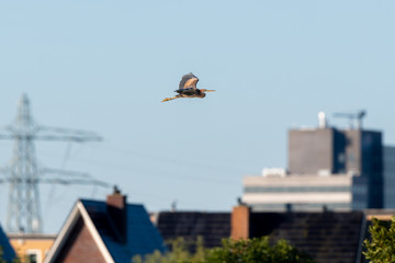 Purple heron (Ardea purpurea) flying over an urban location