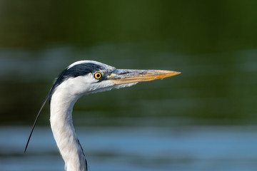 Closeup of a gray Heron (Ardea cinerea) with a background of water