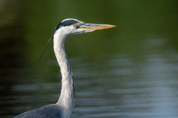 Portrait of a gray Heron (Ardea cinerea) with a background of water