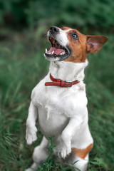 Portrait of jumping and barking small white and red dog jack russel terrier standing on its hind paws and looking up outside in park on green grass blurred background
