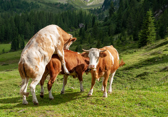 A group of Red-White Swiss Cows engaged in Mating behavior the Italian Dolomites, near Giau Pass, on a summer afternoon.