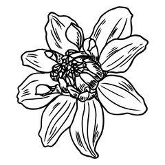 Dahlia flower, related species include the daisy, chrysanthemum, and zinnia. Ink floral art. Floral head for wedding decoration, Valentine's Day, Mother's Day, sales and other events. Vector.