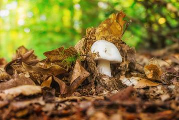 Vitalität Waldpilz Fruchkörper dringt durch die Laubdecke - Vitality forest mushroom fruiting body penetrates the mulch
