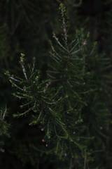 Rami di pianta di erica macro