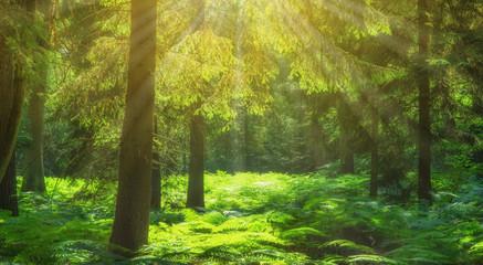 Landschaft Sonnenstrahlen im Fichtenwald mit Farn - Landscape Sunbeams in the spruce forest with fern