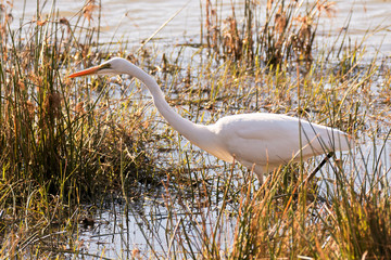 Great Egret hunting in the shallows