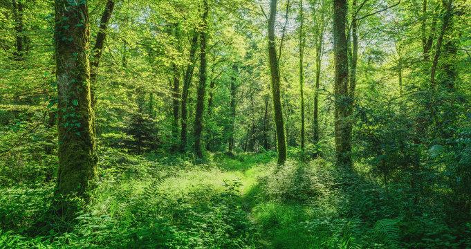 Landschaft zauberhafter Laubwald mit Fußweg im Frühling - Landscape of enchanting deciduous forest with footpath in spring