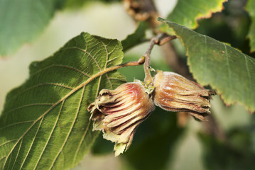 Two hazelnuts on a branch close-up.