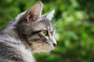 home gray fat cat with bright green eyes looking out the window leaning out on the street against the trees