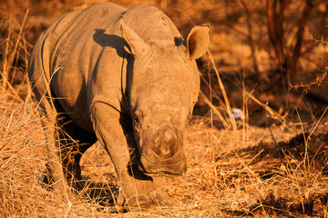White Rhinoceros calf curiously approaching the vehicle