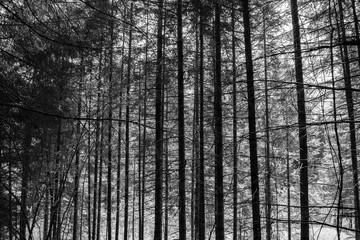 pine forest in italy