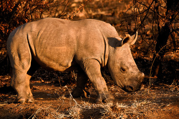 White Rhinoceros calf closely following behind the mother