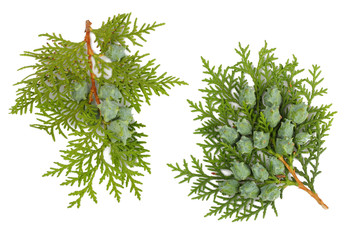 Branch of thuja isolated on white, top view