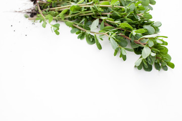 Fresh purslane in the beam on a white background